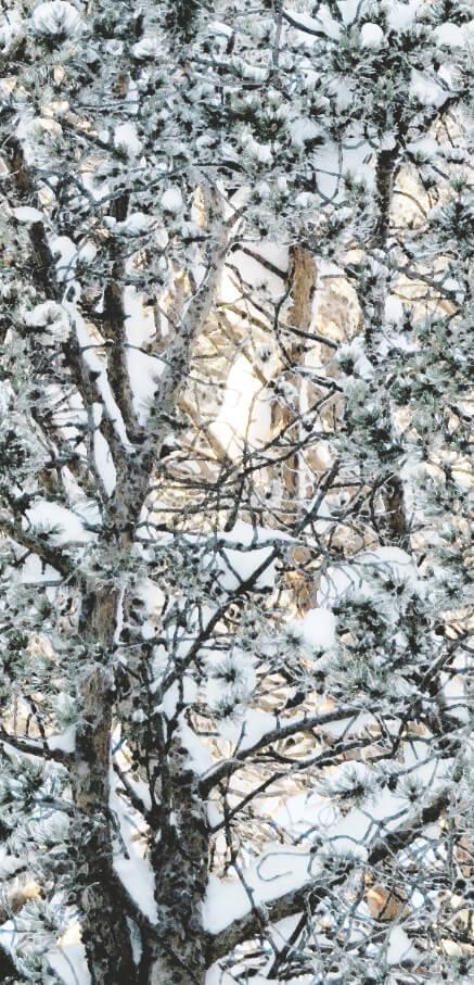Winterpine 1
